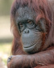 orangutan Anak Ouwehand BB2A3462 (j.a.kok) Tags: orangutan orangoetan ouwehands aap ape animal mammal monkey mensaap zoogdier dier asia azie anak