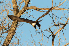 Bald Eagle launch in the morning light - 8 of 13