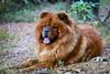 Yoko Ono (Johnny Photofucker) Tags: chowchow cachorro dog cane animal animale bicho pet chien lightroom 70200mm