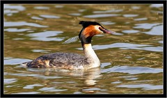 GREAT CRESTED GREBE (PHOTOGRAPHY STARTS WITH P.H.) Tags: great crested grebe stover park devon nikon d500 300mm