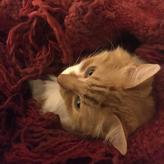 A cozy night, with Pomelo (maralina!) Tags: cat chat gato gatto gattito gattino ginger matou tomcat pomelo cozy winter winternight littlebuddy orangecat