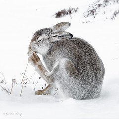 Mountain Hare 07-Mar-18 G 018 (gomo.images) Tags: 2018 animals cairngormnationalpark country mountainhare nature scotland years