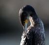 Great cormorant (Andy Davis Photography) Tags: phalacrocoraxcarbo mulfran lake perched basking preening yawning portrait beak water backlit canon