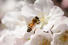 IMG_4270M Honey bee (陳炯垣) Tags: flower bee spring nature macro