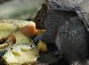 Fruit Salad..Squirrel Style (John Neziol) Tags: jrneziolphotography portrait animal animalphotography animalantics animaladdiction greysquirrel squirrel wildlife outdoor mammal closeup cute brantford beautiful bright bokeh nikondslr nikon nikoncamera nikond80 nature naturallight fruit fur furry funny