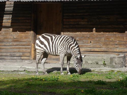 Зебра в Калининградском зоопарке ©  ayampolsky