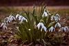 Spring on its way II (redfurwolf) Tags: spring snowdrops captureonepro11 sonyalpha a7r sel90f28g outdoor nature redfurwolf sonyimaging nymphenburg park ground munich germany