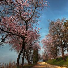Cherry time (Robyn Hooz (away)) Tags: cherry blossom alberi ciliegi life spring primavera cielo sky padova padovainfoto colli euganei montefasolo parco park