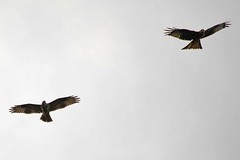 Red Kite (Milvus milvus) & Buzzard (Buteo buteo) 8-3-17 (Brian Carruthers-Dublin-Eire) Tags: accipitriformes accipitridae milvus red kite milan royal rotmilan milano real rode wouw milvusmilvus redkite milanroyal milanoreal rodewouw bird of prey outdoor animal birdofprey bop buzzard buteo buteobuteo group kites hawks eagles common buse variable mausebussard ratonero comun buizerd clamhán commonbuzzard busevariable ratonerocomun animalia wildlife nature wood grass birdwatchfb