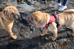 Meeting Of Like Minds (Glass Horse 2017) Tags: redcar cleveland beastfromtheeast exposed ancient forest doggerland petrified trees wood beach black prehistoric sssisite dog chinese sharpei wrinkles cute inscrutable