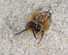 Bee - Colletes cunicularius male (timz501) Tags: bee colletescunicularius jersey