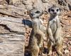 two cute (Pejasar) Tags: stump mammal meerkats two double cute sewickcountyzoo wichita kansas zoosofnorthamerica