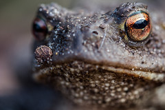 Coa? (L'Teigneux) Tags: 2018 bufobufo amphibien animal batracien crapaud crapaudcommun jardin macro portrait