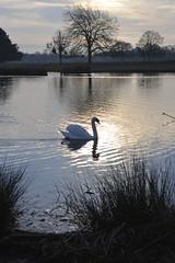 _DSC8069 (The Unofficial Photographer (CFB)) Tags: bushyparkroyalparks londonlife feathredfriends sunrise deardiarymar2018 swan swans featheredfriends