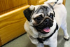Buddy The Pug (allymadesomething) Tags: pug buddy dogs vet hospital clinic animal puppy puppies
