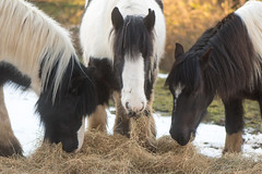 Three Irish Cob ponies eating hay with snow (Ian Redding) Tags: eating ponies gypsy hay cobs horses farm pets feed snow winter together cob food beautiful feeding hardy england british hungry supplementary animals irishcob horse uk pony bath