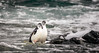 Chinstrap Penguins coming from morning swim (Steven-ch) Tags: pygoscellisantarctica australsummer orneharbour chinstrappenguin arctowskipeninsula canon sea quark wildlife eos7dmarkii ocean 7thcontinent travel water bird zügelpinguin errerachannel antarctica southatlanticocean expedition animal ice aq lightroom adobe waves spume morning