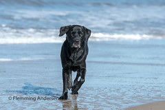 Running in water (Flemming Andersen) Tags: blue sand pet nature water dog outdoor buddy hund animal thisted northdenmarkregion denmark dk