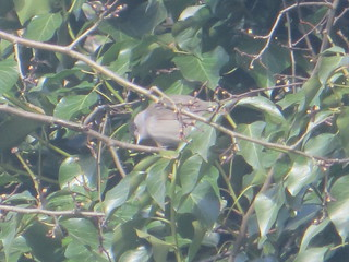 blackcap in the hedgerow