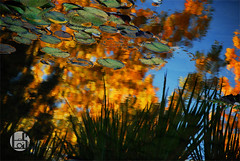 Lily Pad Reflection (Levi Smith Photography) Tags: lily pad reflection abstract nature pond leaves autumn fall grass water sky aspens aspen pads lilies warp ripple ripples lake color colorful