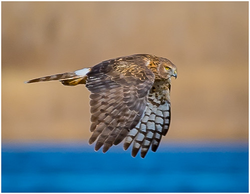 Harrier Hawk in Flight by Karl   Knapp - AW Class B Print - March 2018