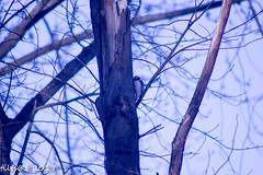 IMG_6922 (tilts61) Tags: tree woodpecker bird downey hairy