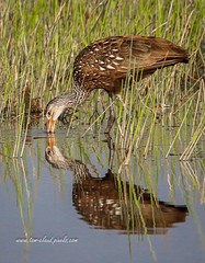 Limpkin Search for Snails (tclaud2002) Tags: limpkin bird wadingbird wildlife animal outdoors search forage water grass reflection nature mothernature pineglades naturalarea pinegladesnaturalarea jupiter florida usa