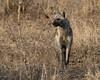Hyena (mayekarulhas) Tags: hyena southafrica safari wildlife wild canon krugernationalpark carnivores animal forest mammal