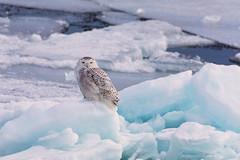 Ice Princess (NicoleW0000) Tags: snowyowl owl wild wildlife ice lakeice outdoor ontario canada
