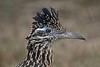 Greater Roadrunner (Alan Gutsell) Tags: bird birding alan wildlife nature photo texasbirds texas southtexasbirds statepark greater roadrunner greaterroadrunner statebird newmexico