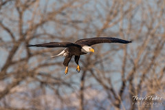 Bald Eagle makes the catch - 4 of 33