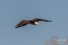 Bald Eagle makes the catch - 2 of 33