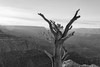 The Old Tree - Grand Canyon (virtualwayfarer) Tags: overlook sunset grandcanyon canyon southrim northernarizona visitarizona travel explore roadtrip driving dusk dramaticlight light goldenhour nationalpark usnationalpark landscape landscapephotography americansouthwest southwest desert summer grandcanyonvillage arizona unitedstates us usa coconino alexberger sony a7rii sonyalpha latelight dry blackandwhite blackandwhitephotography unesco unescoworldheritage worldheritage tree trees