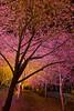 (Eddy_TW) Tags: 台灣 taiwan 台中市 taichung 武陵農場 武陵 wuling wulingfarm 粉紅佳人 櫻花 cherryblossoms februrary 2月 武陵櫻花