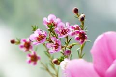 Pink flowers (evisdotter) Tags: pink flowers blommor macro bokeh sooc chamelaucium waxflower