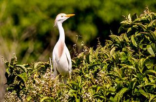 garça-branca-pequena (egretta thula)