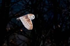 Barn Owl (PIX SW) Tags: barnowl owl bird