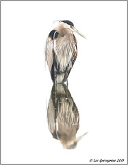 Great Blue Heron Symmetry (pandatub) Tags: bird birds heron greatblueheron baylands paloalto reflection