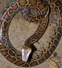 Burmese python in the wild (wildcreaturesasia) Tags: burmese python 蟒蛇 molurus bivittatus hong kong hongkongwildlifenatureanimalscolourphotocanonlifeconser china wild snake stream water canon dsl actoin bite