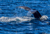 A Whale Tale (Robert Streithorst) Tags: cabo humpback norwegianstar robertstreithorst tail whale
