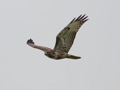 Red-Trailed At Vargas (tourtrophy) Tags: vargasplateau raptor redtailedhawk hawk vargasplateauregionalpark eastbayregionalparkdistrict ebrpd canoneos7dmark2 canonef100400mmf4556lisiiusm