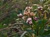 "2018.03.03 - ""mule fat"" (pistillate) (JBYoder) Tags: angiosperm asteraceae baccharis baccharissalicifolia california dicot flora malibu mulefat leocarillostatepark"