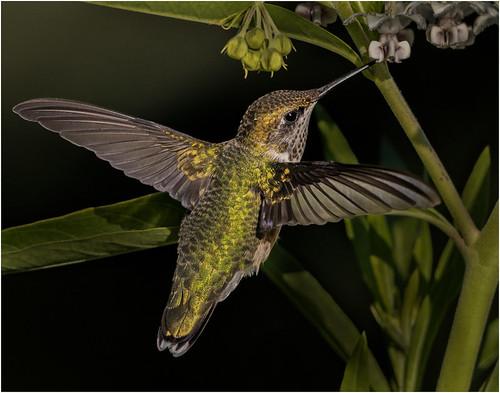 45 - Red Throated Hummingbird
