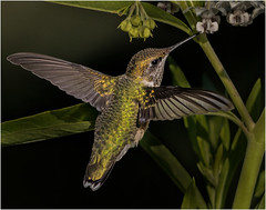 45 - Red Throated Hummingbird