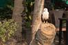 Eagle resting along the Kerala Backwaters (amanda & allan) Tags: kerala backwaters alleppey india kettuvallams houseboats houseboat riceboat riceboats palms palmtrees veniceoftheeast eagle