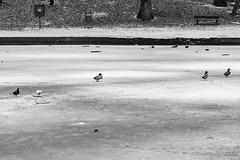 Site des Grands Lacs à Loverval (Olivier_1954) Tags: lac loverval eau gel glace hiver oiseau paysage charleroi wallonie belgique be