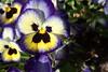 P3080164 (Vagamundos / Carlos Olmo) Tags: dallas usa eeuu vagamundos vagamundos2018 texas tejas flower flores jardín garden arboretum botanical botanicalgarden jardínbotánico
