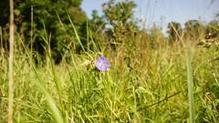 Hardy Geranium (alfieaesthetics) Tags: alfieaesthetics nature wildlife woodland forest outdoors fungi plant flower botany geranium hardygeranium