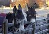 P1040545 (Hello Baton Rouge) Tags: accommodationviews livestock scotland scottishlandscape mull isleofmull innerhebrides hebrides thehebrides scenicroute scenicroad ukcoastline winterlandscape winter placeofinterest
