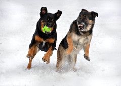 Penny and Maya (LupaImages) Tags: dogs playing canines running run snow winter fur faces teeth ball competition racing outdoors outside